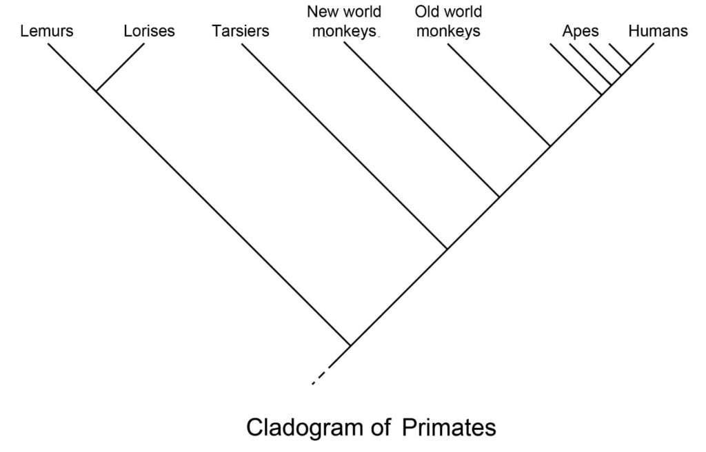 2. Primate Classification | The History Of Our Tribe: Hominini Intended For Name Some Tools For Tracing Evolutionary Relationships